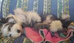 Chien Vib - Colley barbu Femelle (0 mois)