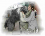 Chien bearded collie Jeop - Colley barbu  (0 mois)