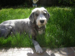 Chien bearded collie - Colley barbu  (0 mois)