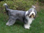 Chien bearded collie Roxane - Colley barbu  (0 mois)