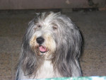 Chien bearded collie Roxane - Colley barbu Femelle (0 mois)