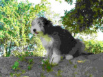 Chien bearded collie Davia - Colley barbu  (0 mois)