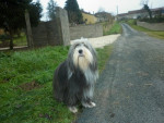 Chien bearded collie Dalcie - Colley barbu  (0 mois)