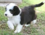 Chien Aaron - Colley barbu Mâle (8 mois)