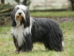 Chien Aaron (grand) - Colley barbu Femelle (7 ans)