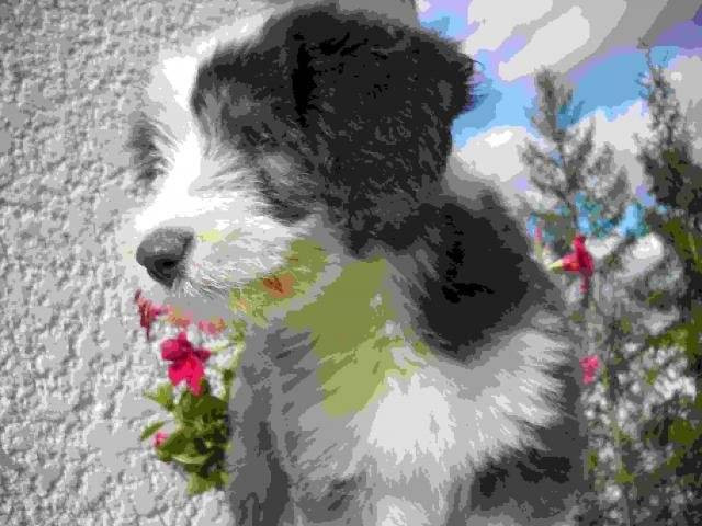 Chien bearded collie Enjoy - Colley barbu  (0 mois)