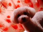 Chien Mon chien bichoné ! - Bichon frisé Mâle (6 ans)