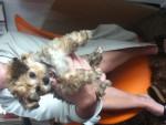 Chien Kaly - Bichon Havanais Femelle (2 mois)