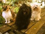 Chien Méline et Melody, Havanaises et la chatte, Biscotte - Bichon Havanais  (0 mois)