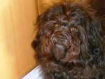 Chien Daya , couleur  Havana Brown, 21 mois - Bichon Havanais  (1 an et 9 mois)