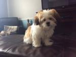 Chien Pixie - Bichon Havanais Femelle (5 mois)