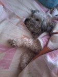 Chien Kalita - Bichon maltais Femelle (2 ans)