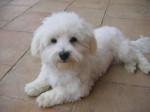 Chien Urlane(décédée )en2011 - Bichon maltais Femelle (7 ans)