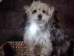 Chien Snoopy yorkshire et bichon maltais - Bichon maltais  (0 mois)