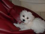 Chien Bichon Maltais - Lily à 3 mois - Bichon maltais  (3 mois)