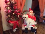 Chien Joyeux Noël ! - Bichon maltais  (0 mois)