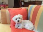 Chien Doudou à 8 ans ! - Bichon maltais  (8 ans)