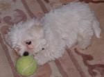 Chien Tam-tam avec la balle - Bichon maltais Femelle (0 mois)