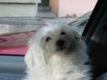 Chien Fifi - Bichon maltais Mâle (De 0 mois à 1 mois)