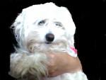 Chien loulou - Bichon maltais Femelle (5 ans)