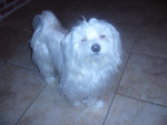 Chien G\'Snoopy - Bichon maltais Mâle (1 an)