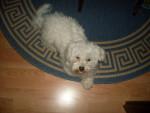 Chien Ricky - Bichon maltais Mâle (5 ans)