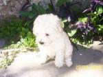 Chien Luna - Bichon maltais Femelle (4 ans)
