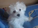 Chien Sugui - Bichon maltais Femelle (3 mois)