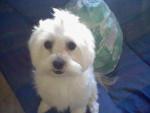 Chien Roni - Bichon maltais Mâle (2 ans)
