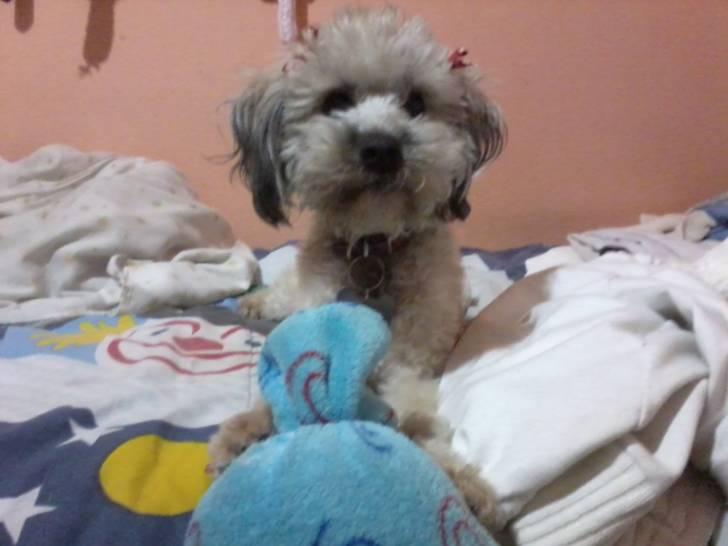 Chien Kala - Bichon maltais Femelle (2 ans)