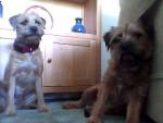 Chien Basil and Dylan - Border Terrier Femelle (4 ans)