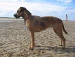 Chien Rosa - Border Terrier Femelle (1 an)