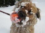 Chien Odie - Border Terrier Femelle (5 ans)