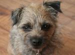 Chien roxy - Border Terrier Femelle (4 ans)
