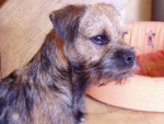 Chien Border Terrier Cheitan - Border Terrier  (0 mois)
