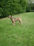 Chien border terrier farah - Border Terrier Femelle (0 mois)