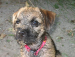 Chien Border terrier, caly - Border Terrier  (0 mois)