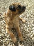 Chien C\'Cool Border terrier - Border Terrier Femelle (0 mois)