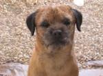 Chien C\'Cool, mâle de 2 ans 1/2 - Border Terrier  (2 ans et demi)