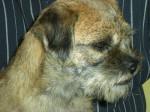 Chien Badine, femelle de 3 ans - Border Terrier  (3 ans)