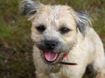 Chien Border Terrier - Border Terrier Femelle (0 mois)