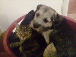 Chien Oscar + Jasper - Border Terrier Femelle (3 ans)