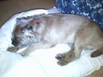 Chien max - Border Terrier Femelle (7 ans)