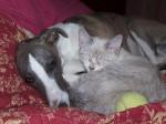 Chien Photo de Whippet avec un chat - Lévrier Whippet  (0 mois)