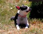 Chien Kaloventhia - Terrier de Boston Femelle (4 ans)