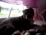 Chien Scooby - Terrier de Boston Mâle (7 ans)