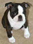 Chien Bella - Terrier de Boston Femelle (1 an)