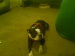 Chien Bubba - Terrier de Boston Mâle (2 ans)