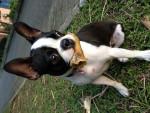 Chien Mikaela - Terrier de Boston Femelle (1 an)