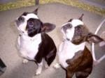 Chien meine Bostibande - Terrier de Boston Femelle (8 ans)